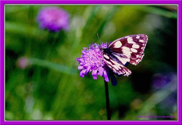 A0279.Schmetterling auf Blume,Mezzaselva.CH