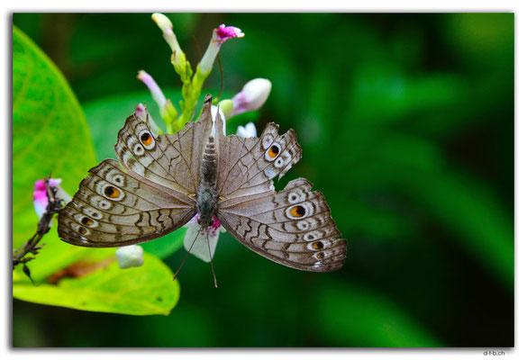 ID0137.Ubud.ARMA.Schmetterling
