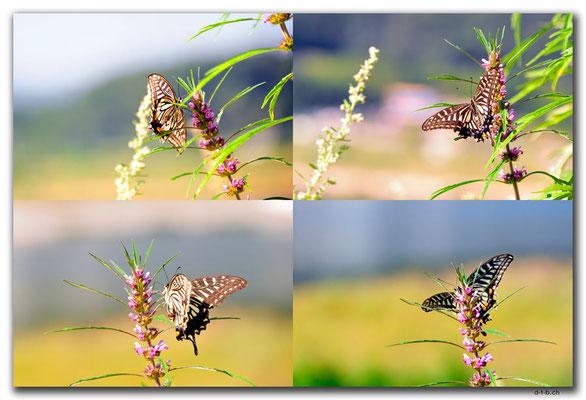 KR0137.Schmetterling