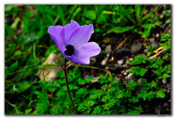 GR0495.Blume