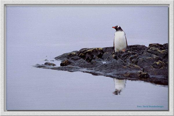 41.Eselspinguin,Antarktis