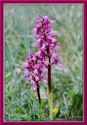 A0142.Orchidee.St.Karlsö.Gotland.SE