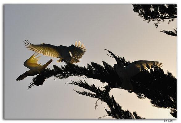 AU1124.Millicent.White Kakadus