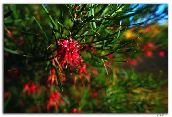 AU0502.Geraldton.Wildblume