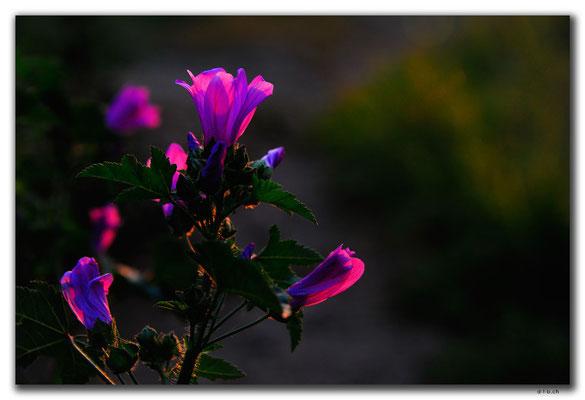GR0092.Thessaloniki.Blume