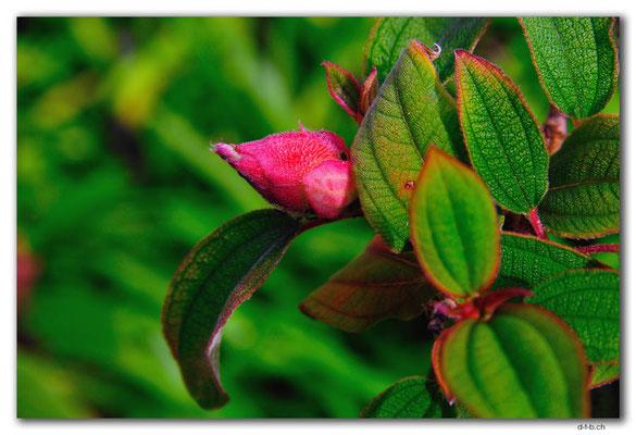 NZ0188.Whangarei.Blüte