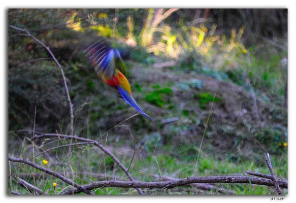 AU1482.Cann River Rainforest Walk.Parrot