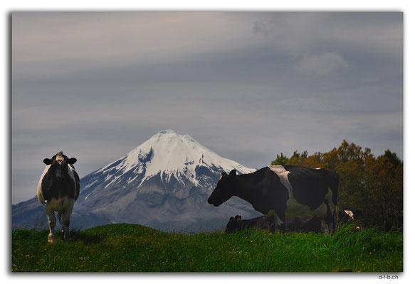 NZ0395.Mt.Taranaki mit Kühen