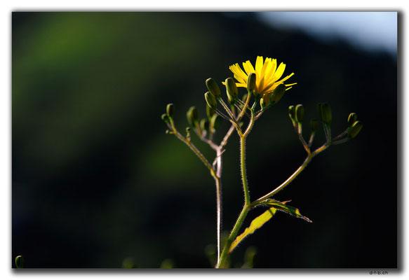 TR0981.Rize.Blume