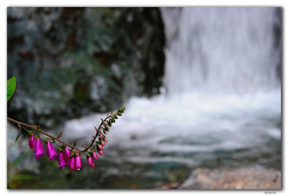 NZ0549.Kahurangi N.P.Flower at a waterfall