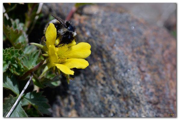 A0775.Anemone mit Biene.Klosters.CH