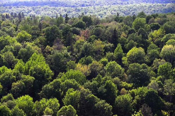CA0492 Algonquin Park Wald