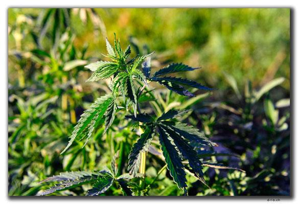 KZ0132.Cannabis
