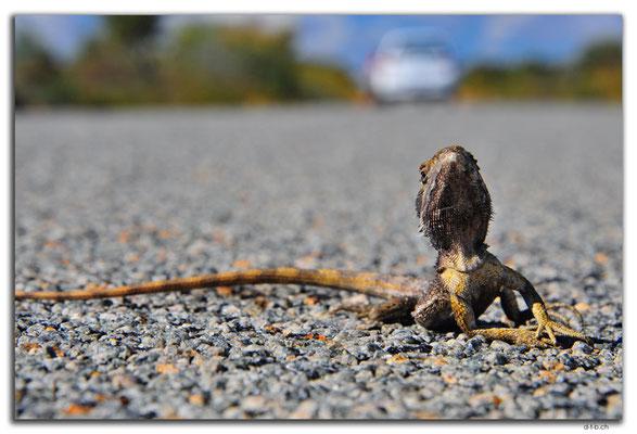 AU0463.Kalbarri N.P.Lizard