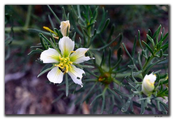 KZ0146.Blume