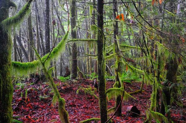 CA0136 Squamish Regenwald