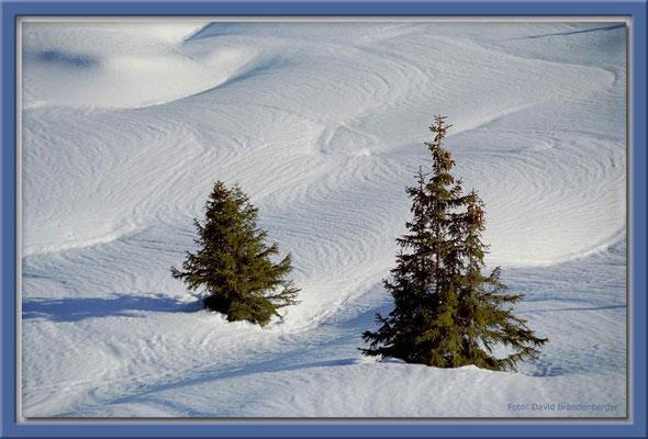 A0053.Tannen im Schnee,Flims.CH
