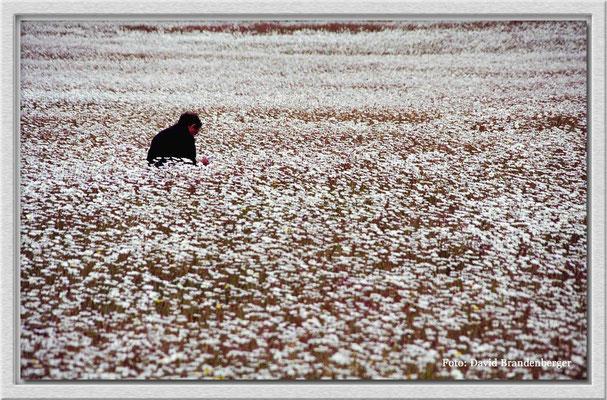 89.Daisies,P.N.Torres del Paine,Chile