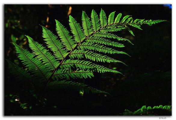 NZ0925.Curio Bay,Living Forest.Fern