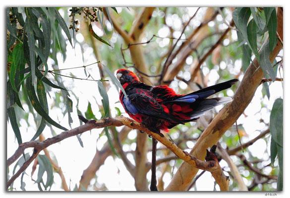 AU1203.Kennett River.Parrot