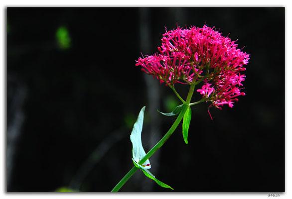 NZ0551.Flower beside the Cobb Dam Road