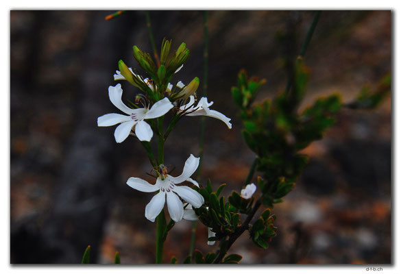AU0831.Bandalup.Blume