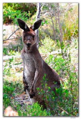 AU1024.Coffin Bay.Kellidie C.P.Kangaroos