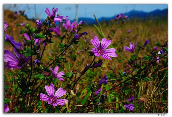 NZ0686.Wairau Valley.Flower