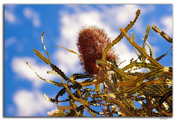 AU0440.Kalbarri N.P.Acorn Banksia