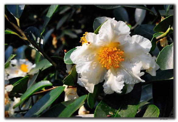 HK0030.Blume