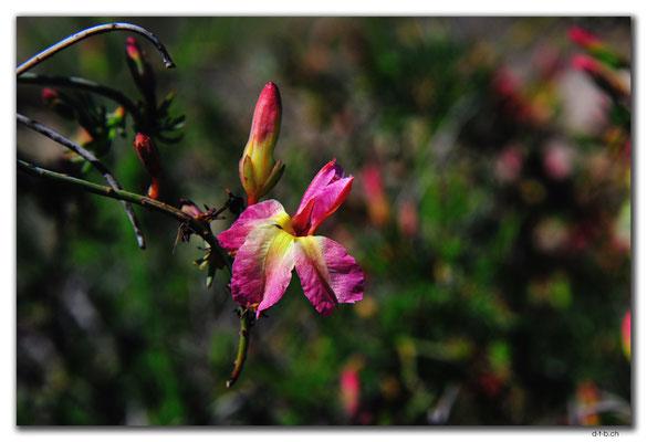AU0522.Western Australian Yellow