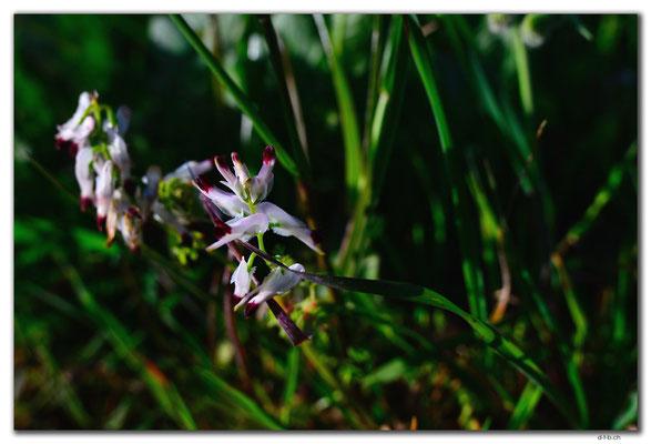 AU0504.Geraldton.Wildblume