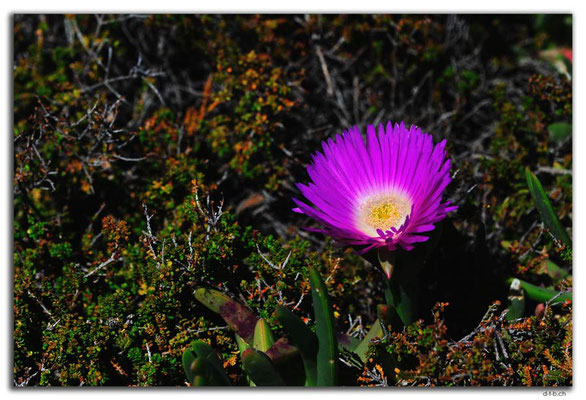 AU0561.Green Head.Coastal Pigface