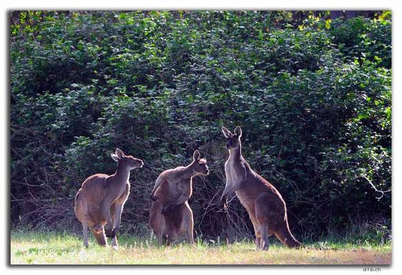 AU0768.Quinninup.Kangaroos
