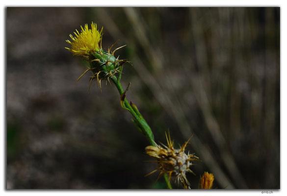 AU0953.Nullarbor N.P.Blume