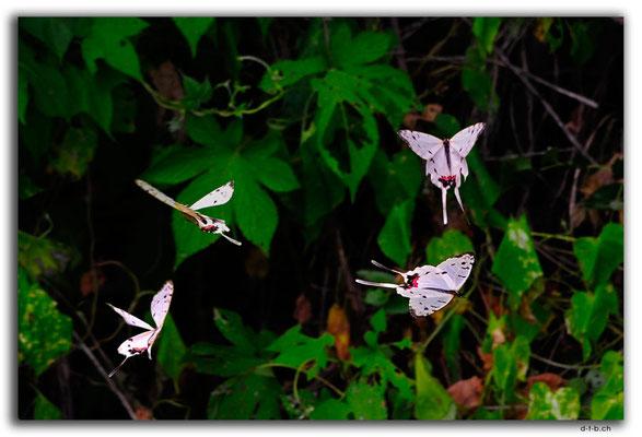 CN0364.Peking,Schmetterling