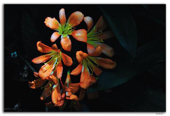 NZ0424.Mount Lees Reserve.Blume
