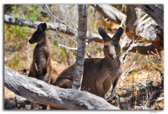 AU1023.Coffin Bay.Kellidie C.P.Kangaroos