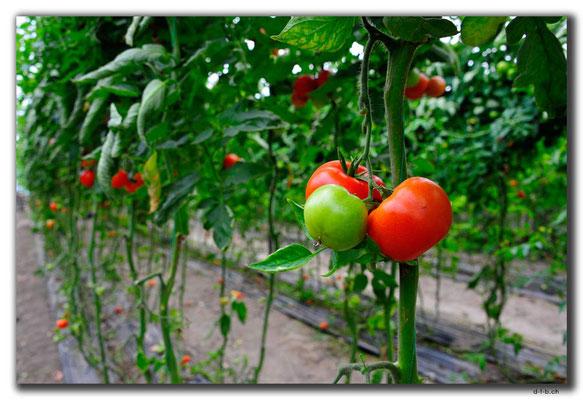 TR0232.Tomatenplantage