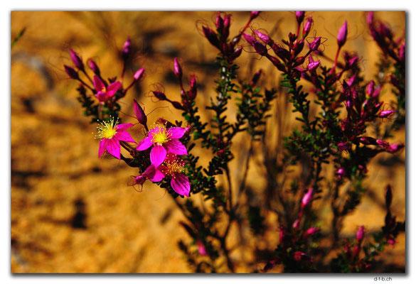 AU0428.Blume