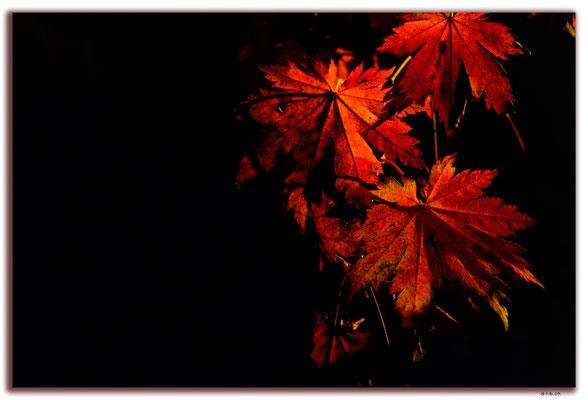KR0320.Busan.Herbstblätter