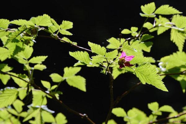 CA0068 WCT Blume