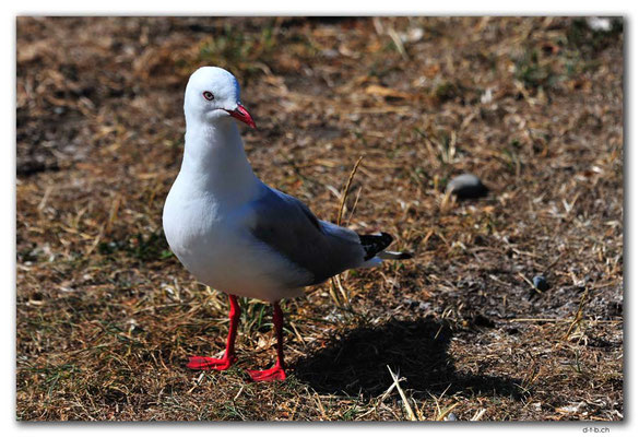 NZ0710.Paia Point.Red billed Gull