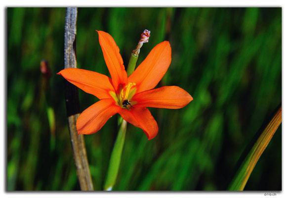 AU0635.Muchea.Südafrikanische Blume