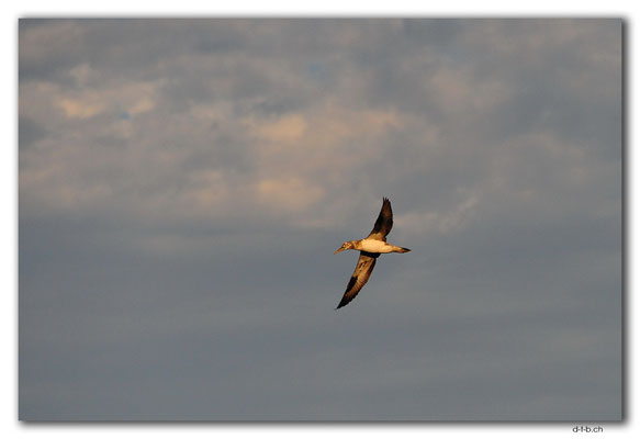 AU1550.Sydney.Bondi Bird