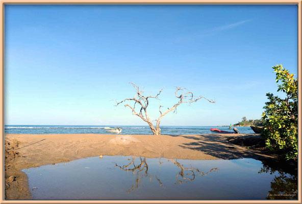JM100.Buttonwood Tree.Treasure Beach