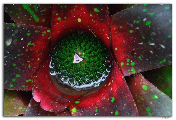 ID0179.Bedugul.Bot.Garten.Kaktusblüte