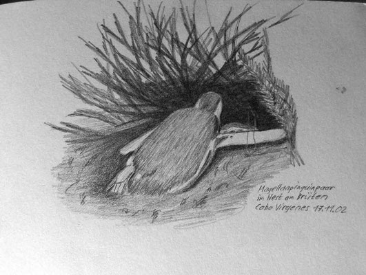 009.Skizze, Magellanpinguinpaar im Nest am Brüten, Cabo Virgenes /Argentinien