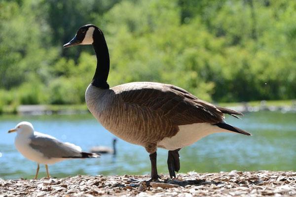 CA0358 Niagara Falls Canada Goose