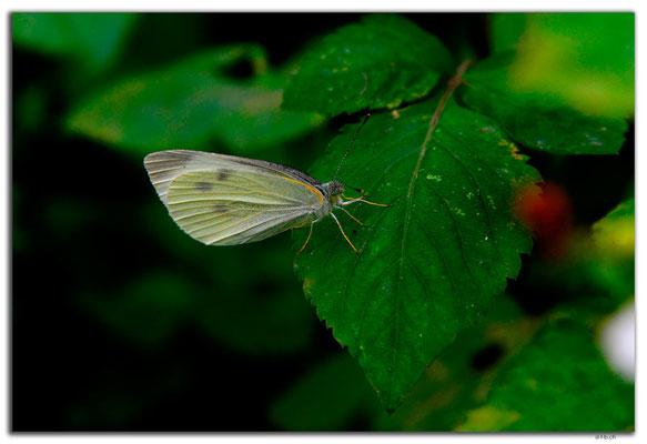 VN0043.Hanoi.Schmetterling